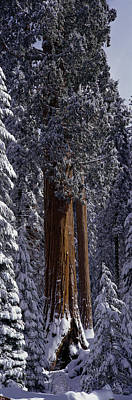 Giant Sequoia Tree Covered In Fresh Poster