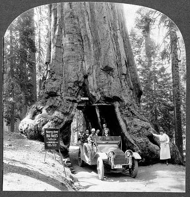 Giant Sequoia 'wawona' Tree Poster by Library Of Congress