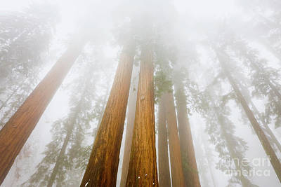 Giant Sequoias In The Fog Poster