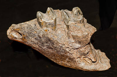 Giant Sloth Jaw Fossil Poster