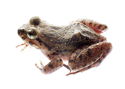 Giant Spiny Frog Poster