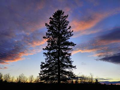 Giant Spruce Tree Sunset Poster