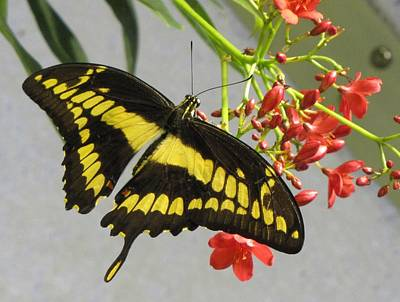 Poster featuring the photograph Giant Swallowtail by Jennifer Wheatley Wolf