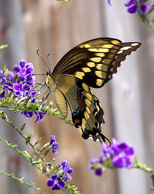 Giant Swallowtail On Goldendewdrop 1 Poster by Judy Wanamaker