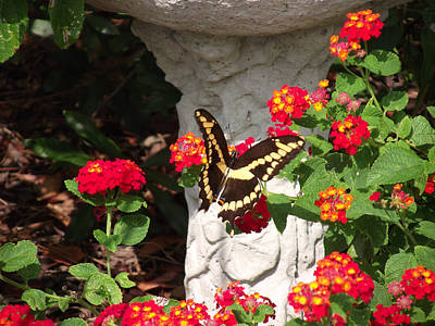 Poster featuring the photograph Giant Swallowtail On Lantana by Jayne Wilson