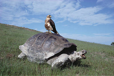 Giant Tortoise And Galapagos Hawk Poster by Tui De Roy