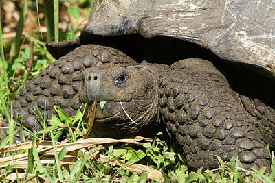 Giant Tortoise At El Rancho Manzanillo Poster by Diane Johnson