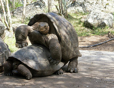 Giant Tortoises With Mating Behavior Poster by Diane Johnson