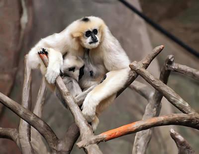 Gibbon Nursing Its Baby Poster