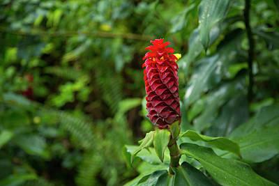 Ginger Flower, Waipio Valley, Hamakua Poster