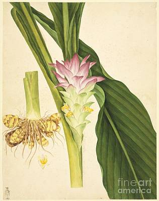 Ginger (zingiber Officinale), Artwork Poster by Natural History Museum, London