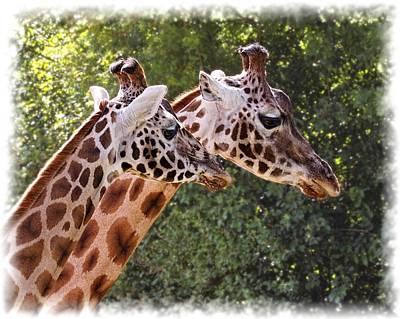 Giraffe 03 Poster
