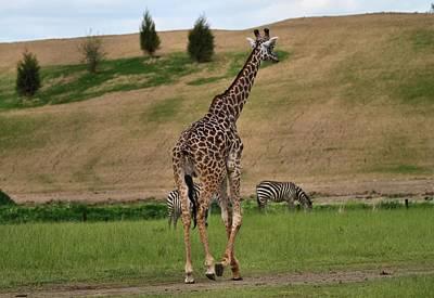 Giraffe And Zebra Poster