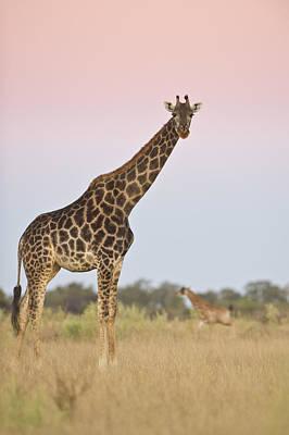Giraffe At Sunset Poster