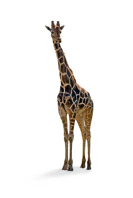 Poster featuring the photograph Giraffe by Charles Beeler