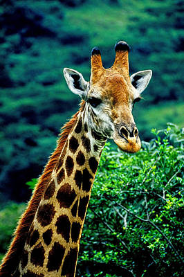 Poster featuring the photograph Giraffe by Dennis Cox WorldViews
