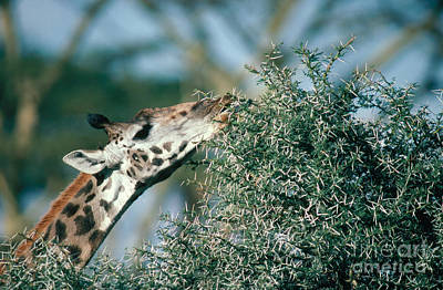 Giraffe Eating Acacia Poster by Gregory G. Dimijian, M.D.