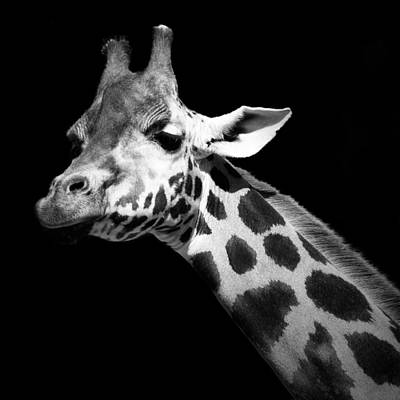 Portrait Of Giraffe In Black And White Poster
