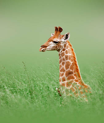 Giraffe Lying In Grass Poster