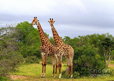 Giraffe Males Before The Storm Poster