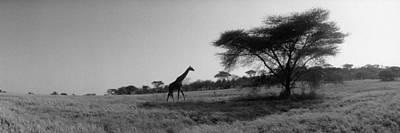 Giraffe On The Plains, Kenya, Africa Poster