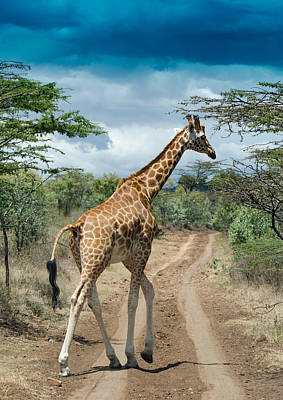 Giraffe On The Road Poster by Mesha Zelkovich