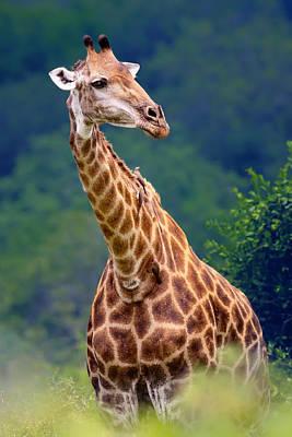 Giraffe Portrait Closeup Poster