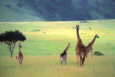Giraffe Poster by Sebastian Musial