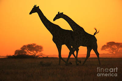 Giraffe Sunset Run Of Gold From Africa Poster by Hermanus A Alberts