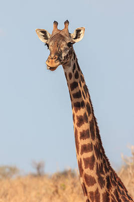 Giraffe Tongue Poster