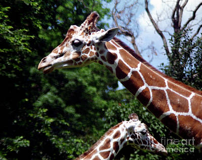 Poster featuring the photograph Giraffes Coming And Going by Tom Brickhouse