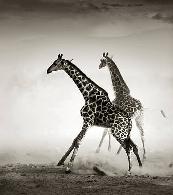 Giraffes Fleeing Poster