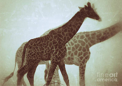 Poster featuring the photograph Giraffes In The Mist by Nick  Biemans