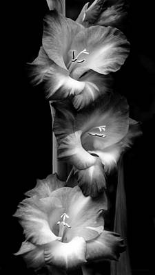 Gladiola Flowers Evening Light Black And White Poster by Jennie Marie Schell