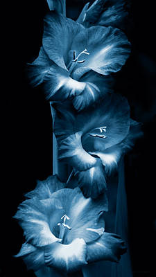 Gladiola Flowers Evening Light In Blue Poster by Jennie Marie Schell