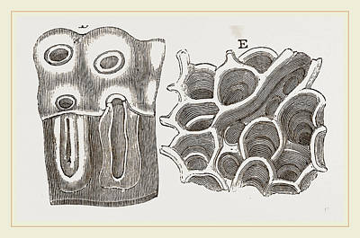 Glands Of Stomach In Birds Poster by Litz Collection
