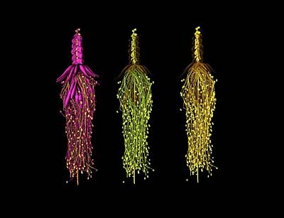 Glass Siphonophora Poster by Farah Ahmed/natural History Museum, London
