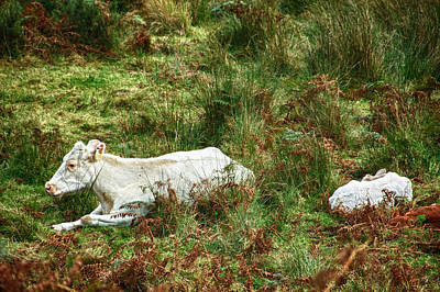 Poster featuring the photograph Glendalough Cattle 2 by Trever Miller