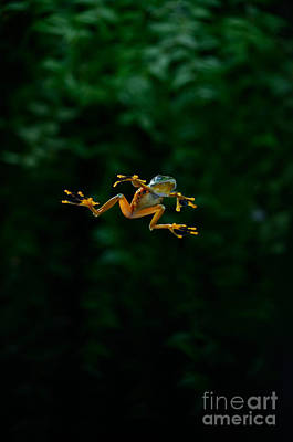 Gliding Frog In Flights Poster