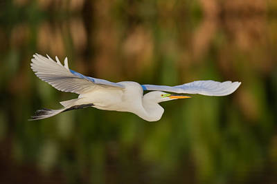 Gliding Great Egret Poster by Andres Leon