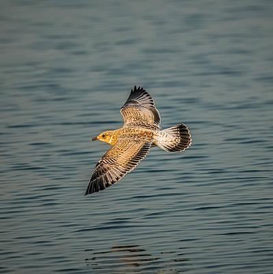 Gliding Gull Poster
