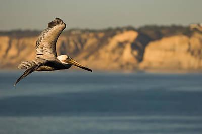 Gliding Pelican Poster by Sebastian Musial