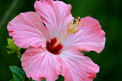 Glitter Pink Hibiscus Poster