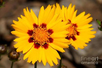Gloden Flowers Poster by Stuart Mcdaniel