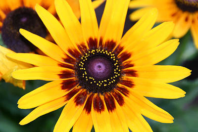 Poster featuring the photograph Gloriosa Daisy by Denyse Duhaime