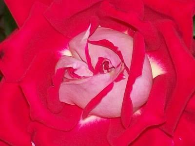 Glorious Red Rose Poster by Belinda Lee