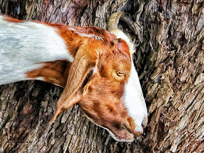 Poster featuring the photograph Goat 3 by Dawn Eshelman