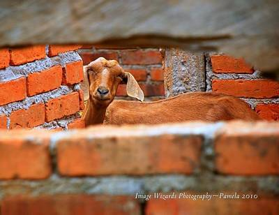 Goat In A Box Poster by ARTography by Pamela Smale Williams