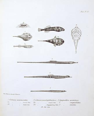 Gobiesox Marmoratus Poster