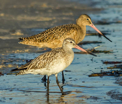Godwits Poster